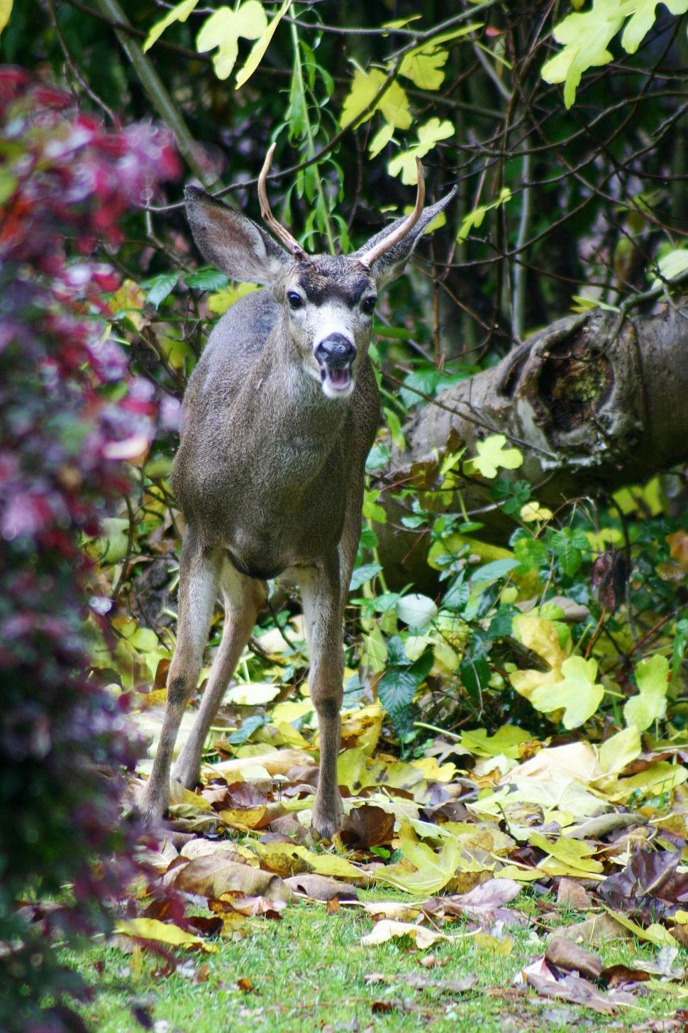 Download Free Stock Photo of deer eat leaves forest wildlife antlers animal