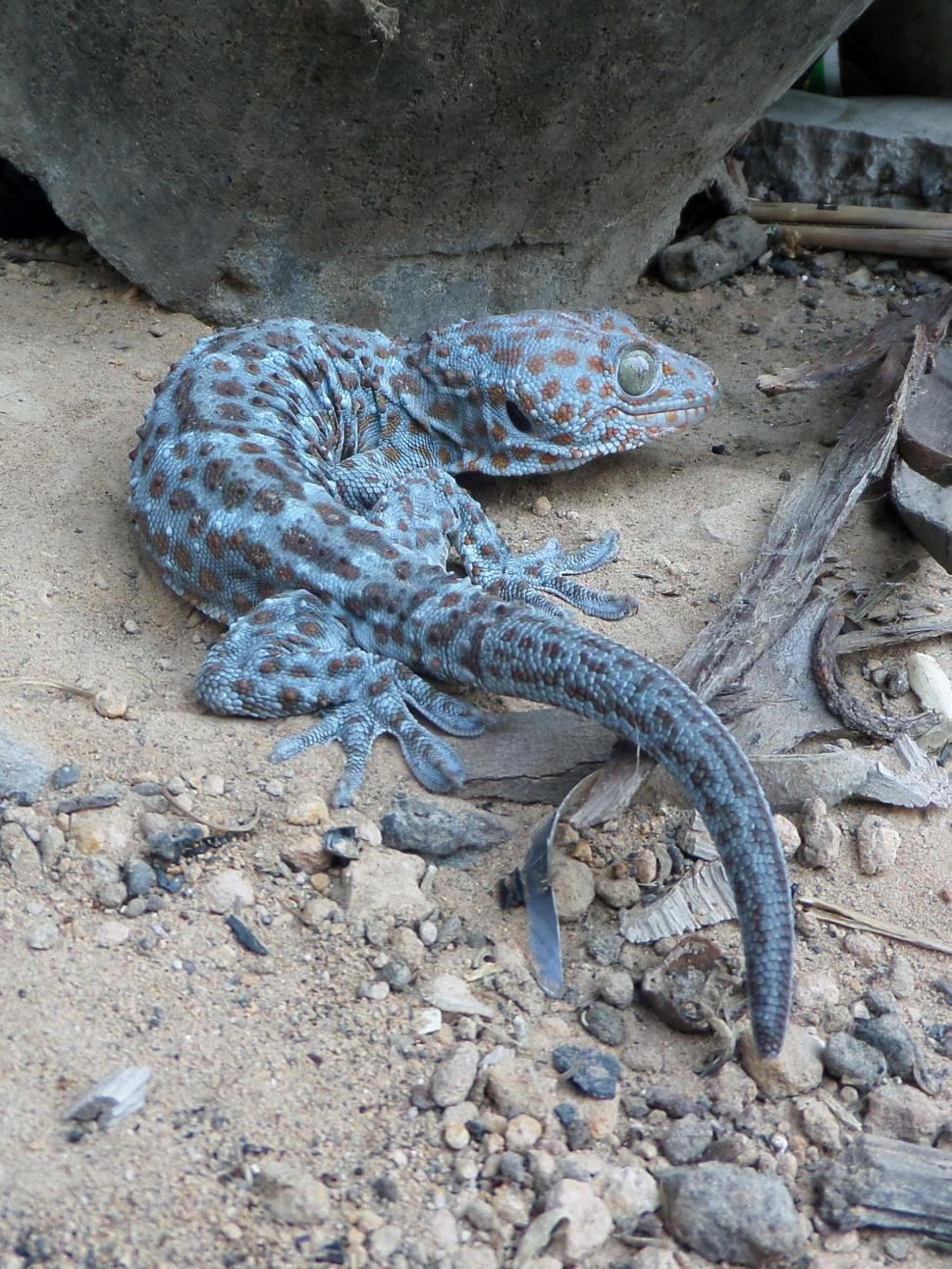 Download Free Stock Photo of Tokay gecko