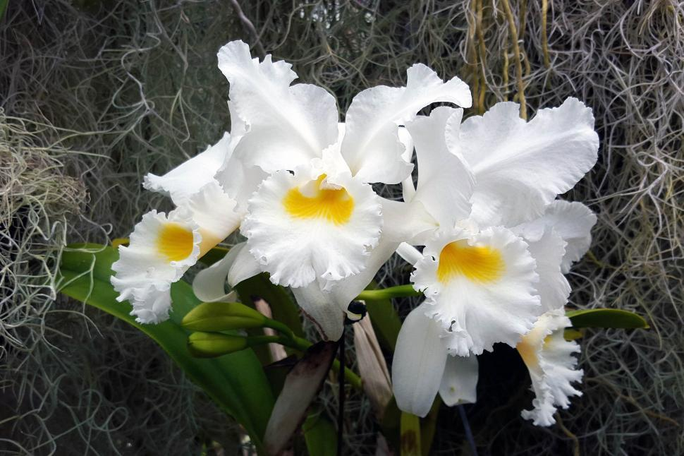 Download Free Stock Photo of Cattleya Orchid Flower Group
