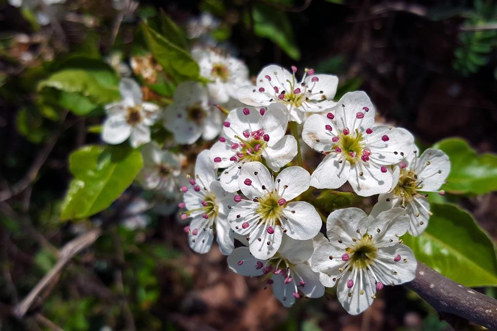 Download Free Stock HD Photo of White Crab Apple Flowers Online