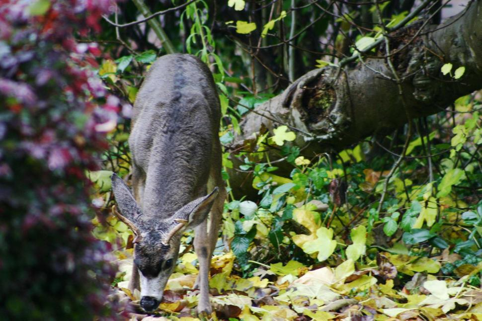 Download Free Stock Photo of deer eat leaves forest graze wildlife animal