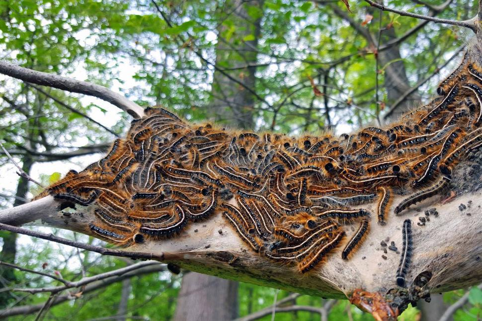 Download Free Stock Photo of Gypsy Moth Infestation