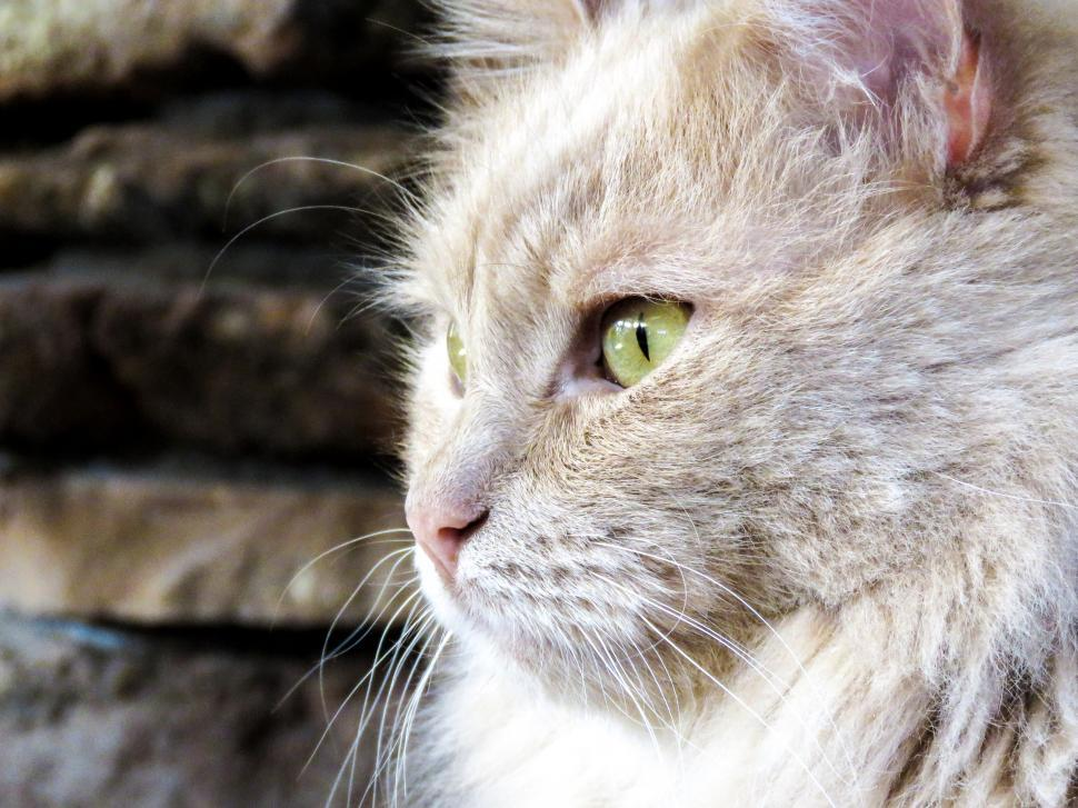 Download Free Stock HD Photo of Light colored cat Online