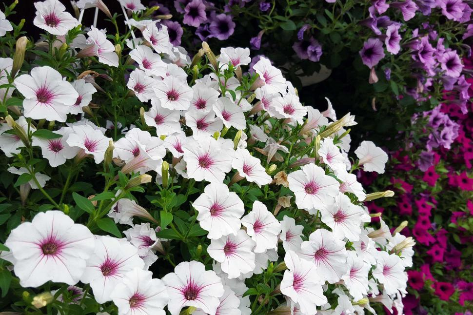 Download Free Stock Photo of Petunia Flowers In Hanging Baskets