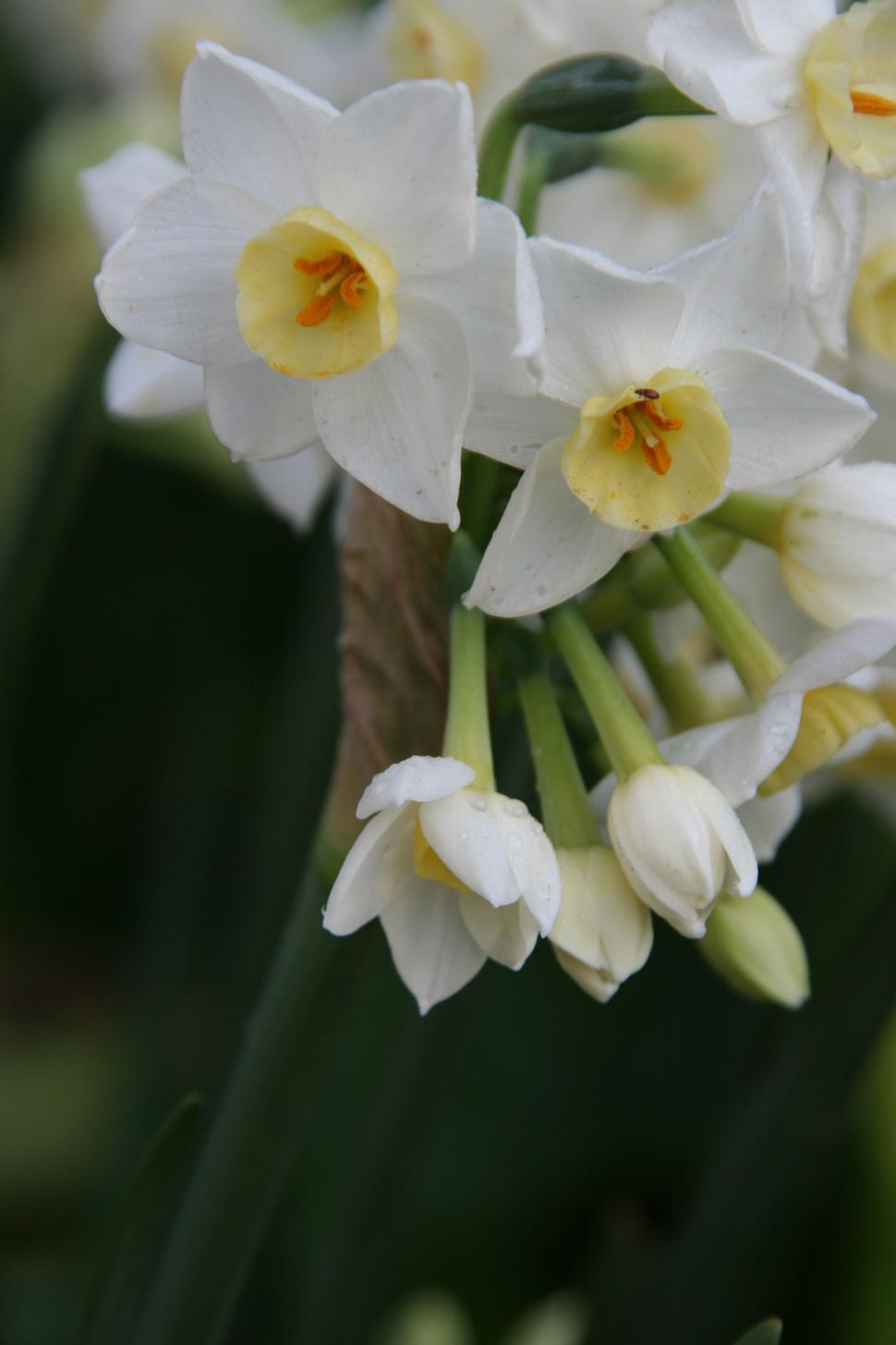 Download Free Stock Photo of narcissus flower