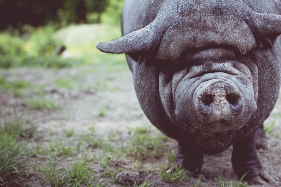 Download Free Stock Photo of Nature hog ungulate swine hippopotamus animal