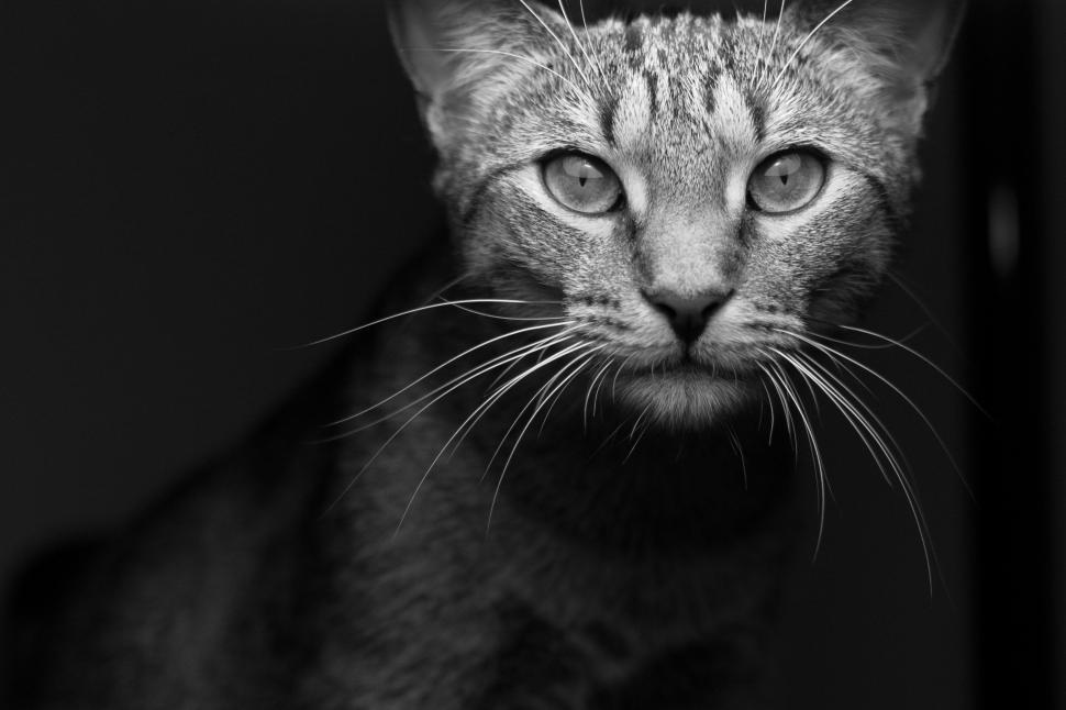 Download Free Stock Photo of Nature cat feline animal domestic cat kitty kitten domestic animal fur pet domestic mammal cute whiskers egyptian cat tabby pets eyes furry eye animals tiger cat hair portrait looking face adorable cats grey shorthair tail curious curiosity