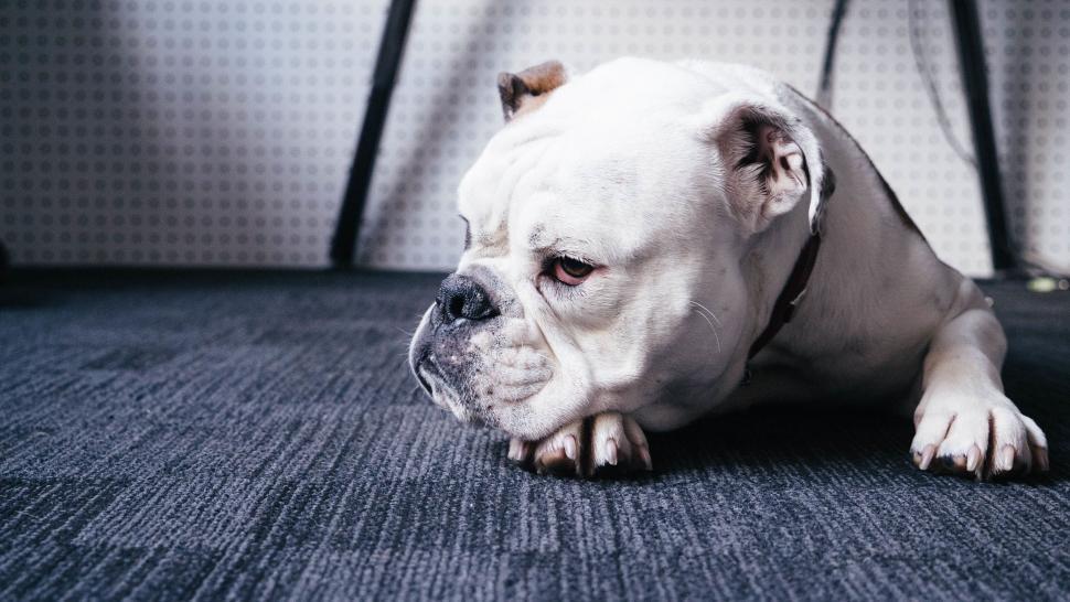Download Free Stock Photo of Nature dog pug canine domestic animal animal bulldog french bulldog