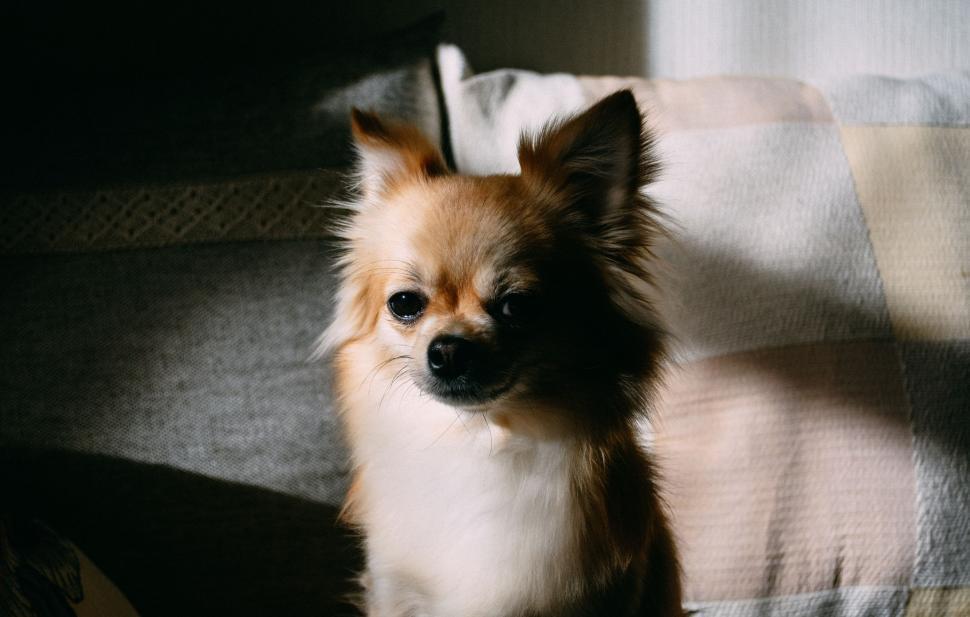 Download Free Stock Photo of Nature toy spaniel papillon toy dog dog canine domestic animal pomeranian spitz