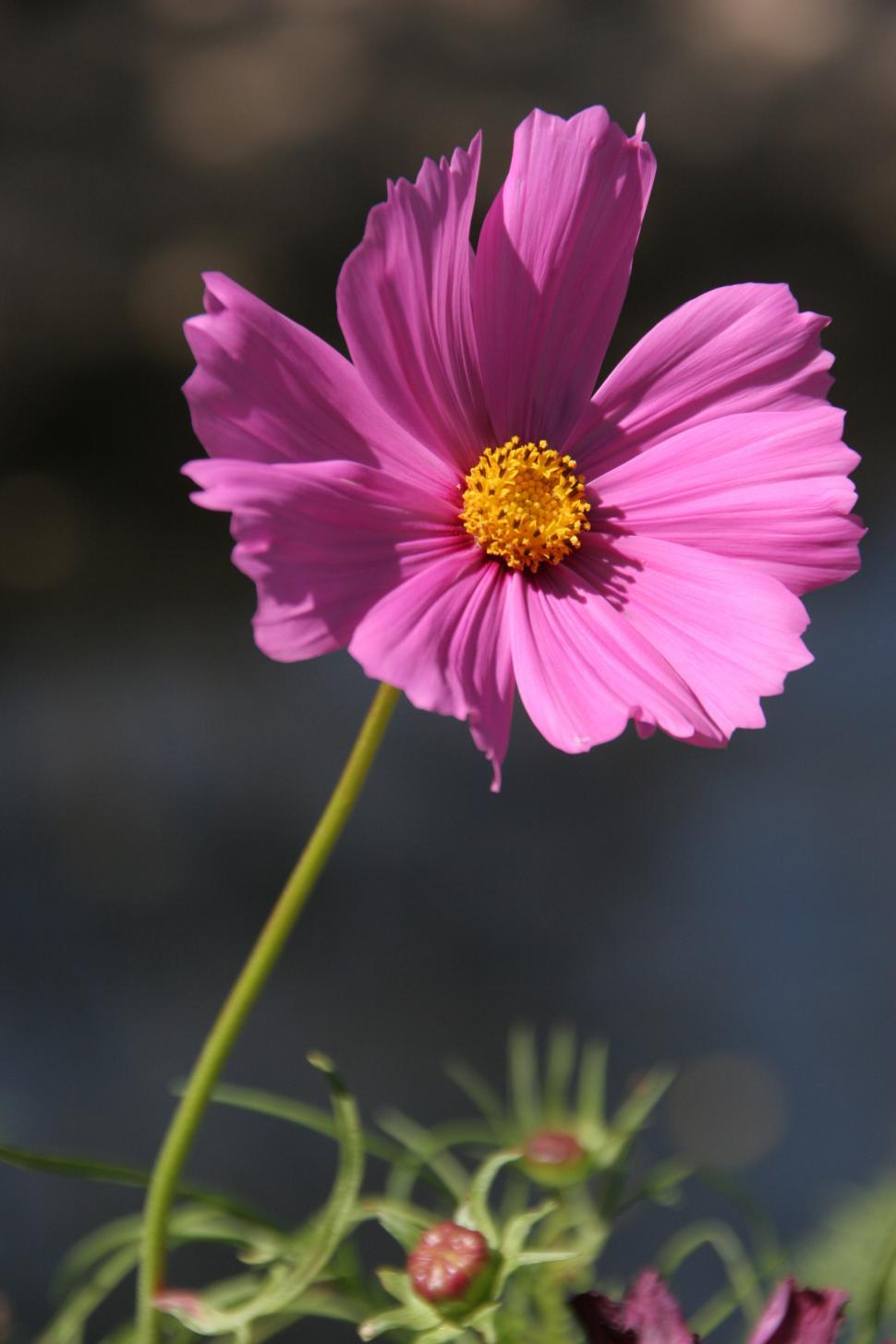 Download Free Stock Photo of Pink Daisy Flowers