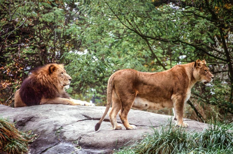 Download Free Stock Photo of Lion and Lioness