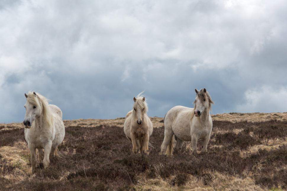 Download Free Stock Photo of White horses