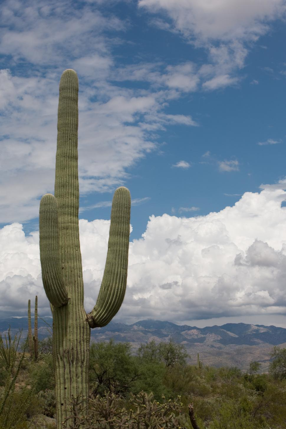 Download Free Stock Photo of Saguaro Cactus