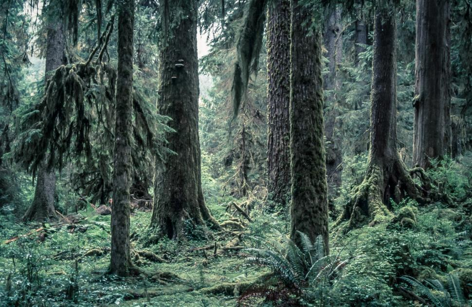 Download Free Stock Photo of Hoh Rainforest