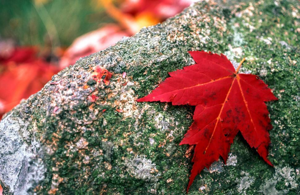 Download Free Stock HD Photo of Red Maple Leaf Online