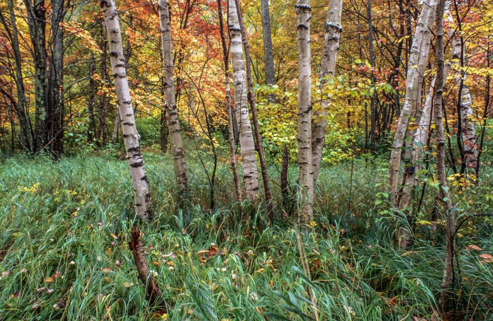 Download Free Stock HD Photo of Birch Trees in Autumn Online