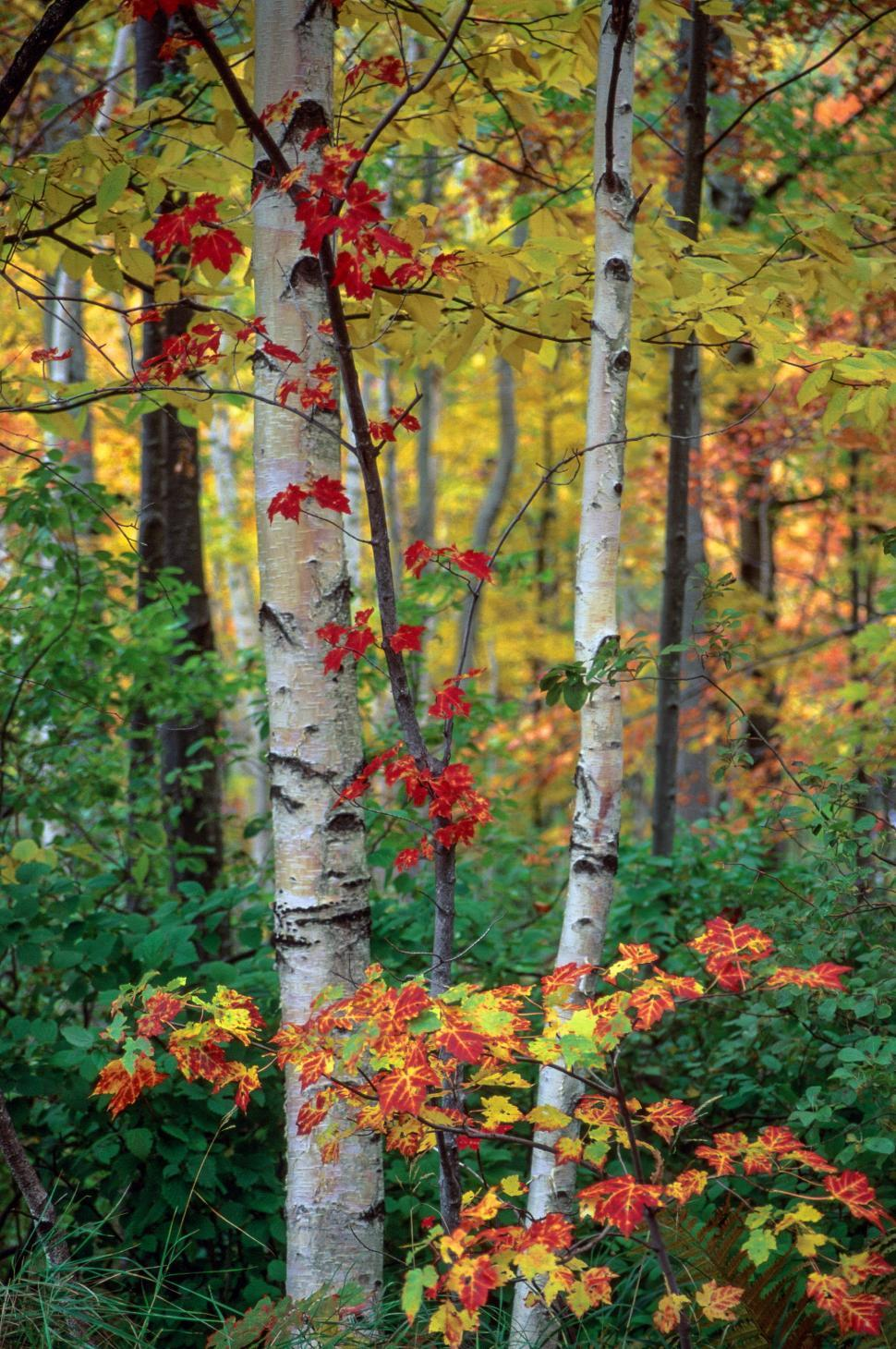 Download Free Stock Photo of Autumn Forest Leaves and Birch Trees