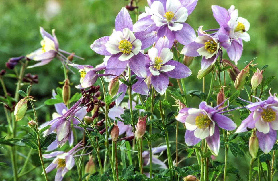 Download Free Stock Photo of White and lavender columbine flowers