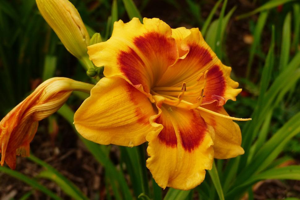 Download Free Stock HD Photo of Day Lily  Jedi Tequila Sunrise  Flower Online