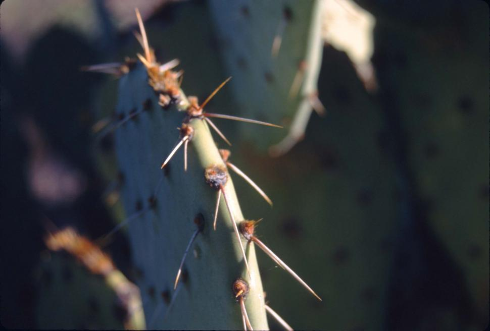 Download Free Stock HD Photo of Prickly pear cactus spines Online