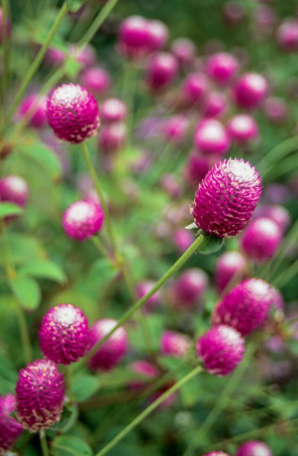 Download Free Stock Photo of Allium sphaerocephalon