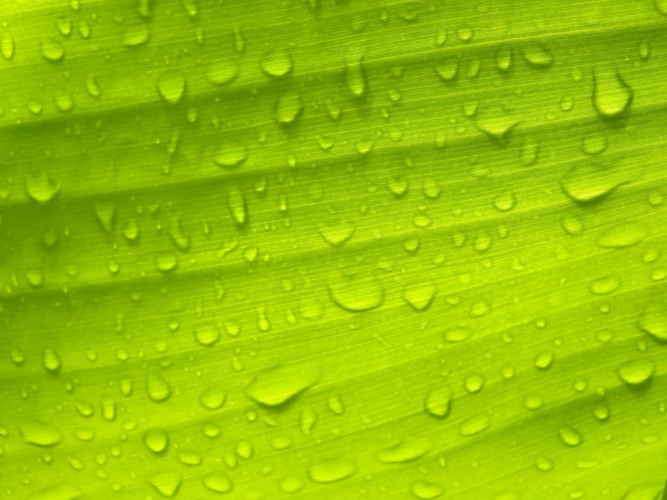 Download Free Stock HD Photo of Water droplets on banana leaf  Online