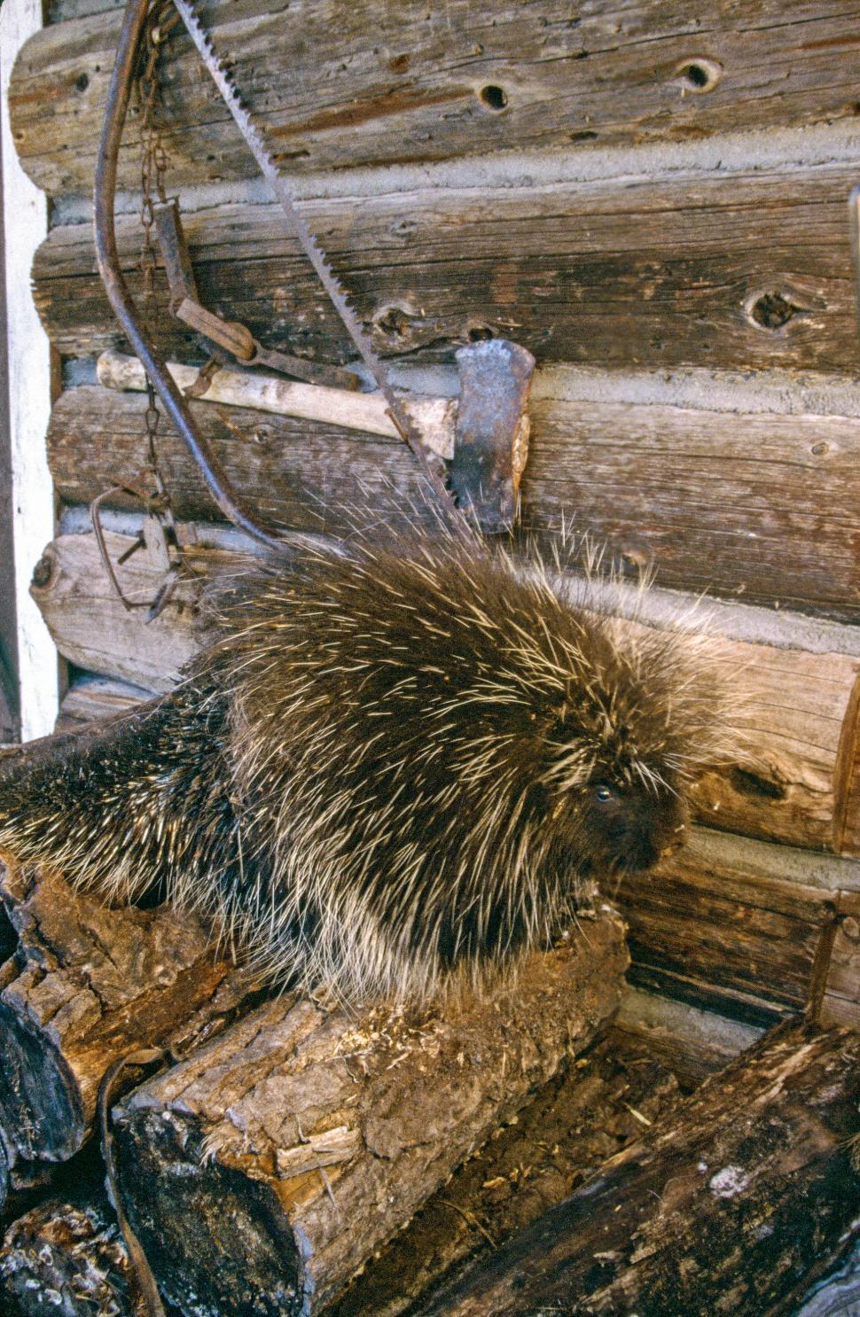 Download Free Stock Photo of Crested porcupine
