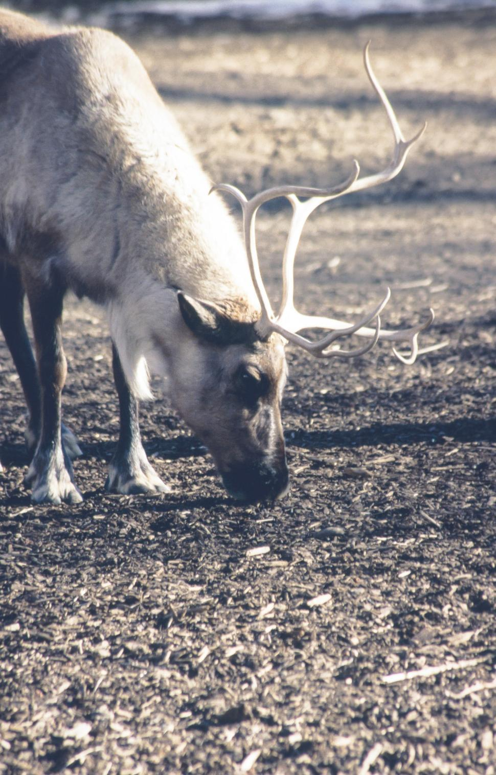 Download Free Stock Photo of Caribou