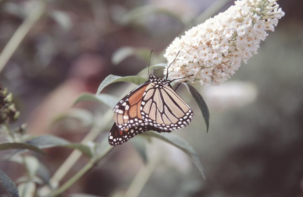 Download Free Stock Photo of Monarch butterfly