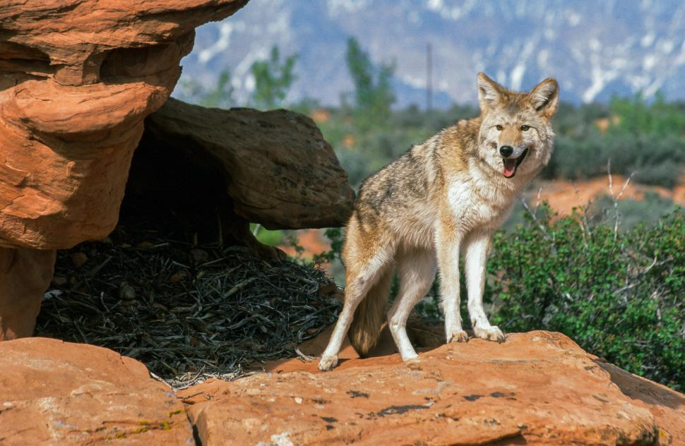 Download Free Stock Photo of Gray wolf