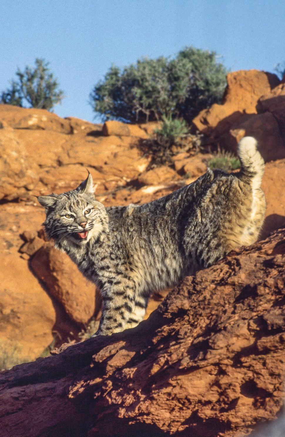 Download Free Stock Photo of Bobcat on a rock