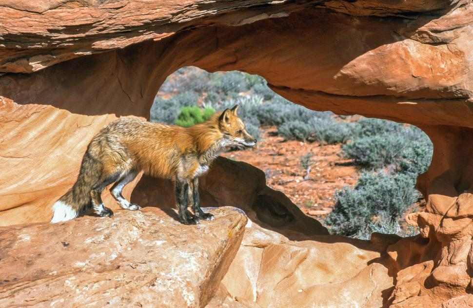 Download Free Stock Photo of One fox on rocks