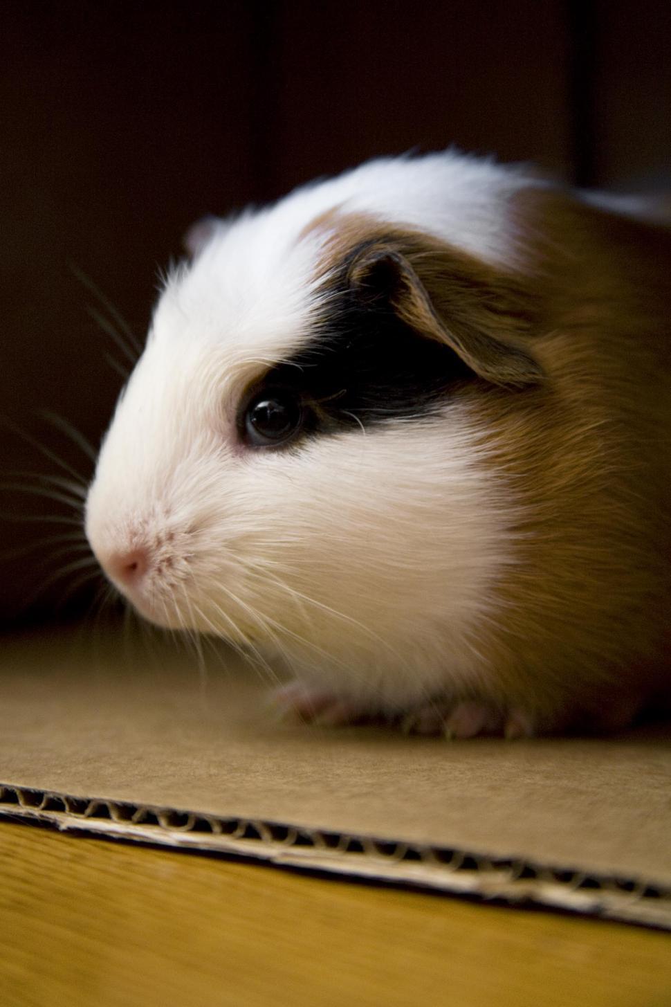 Download Free Stock HD Photo of Guinea Pig peeking from inside cardboard box Online