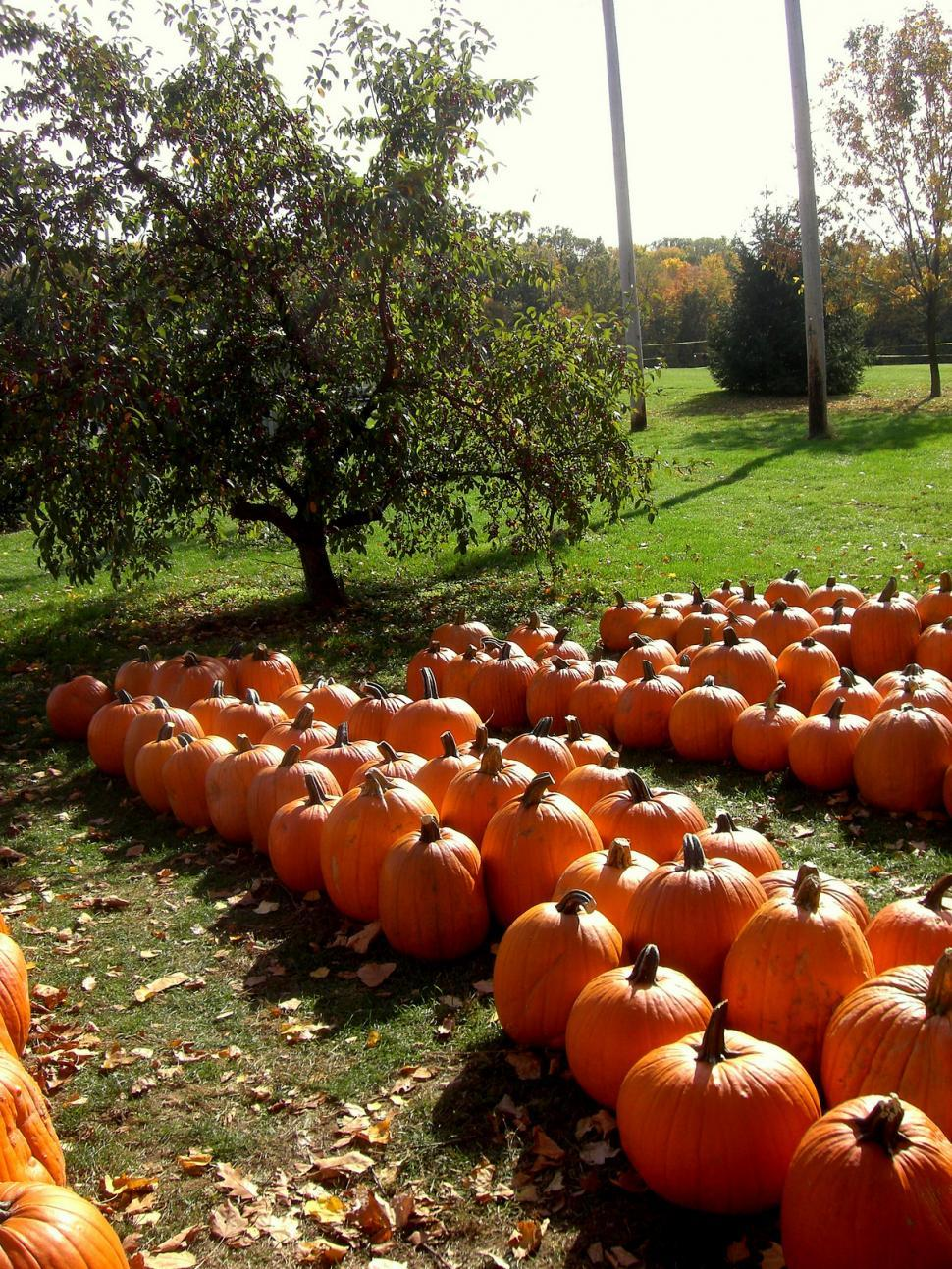 Download Free Stock Photo of Fall - Pumpkin Patch