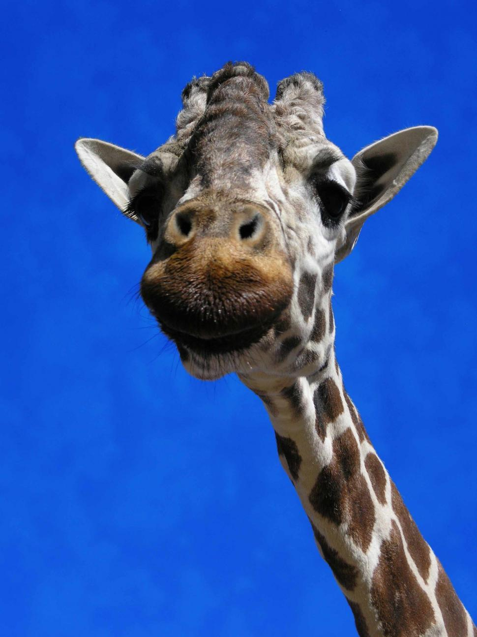 Download Free Stock Photo of Giraffe