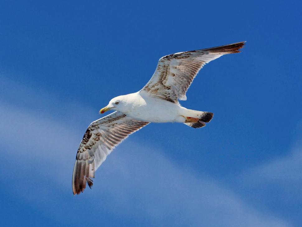 Download Free Stock Photo of Seagull flying
