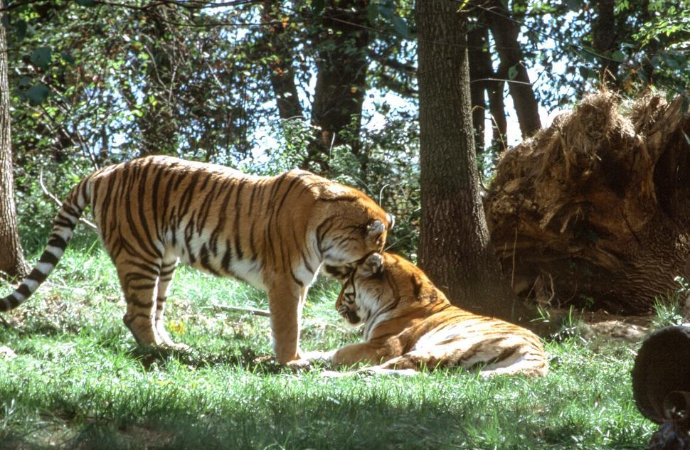 Download Free Stock Photo of Two Tigers