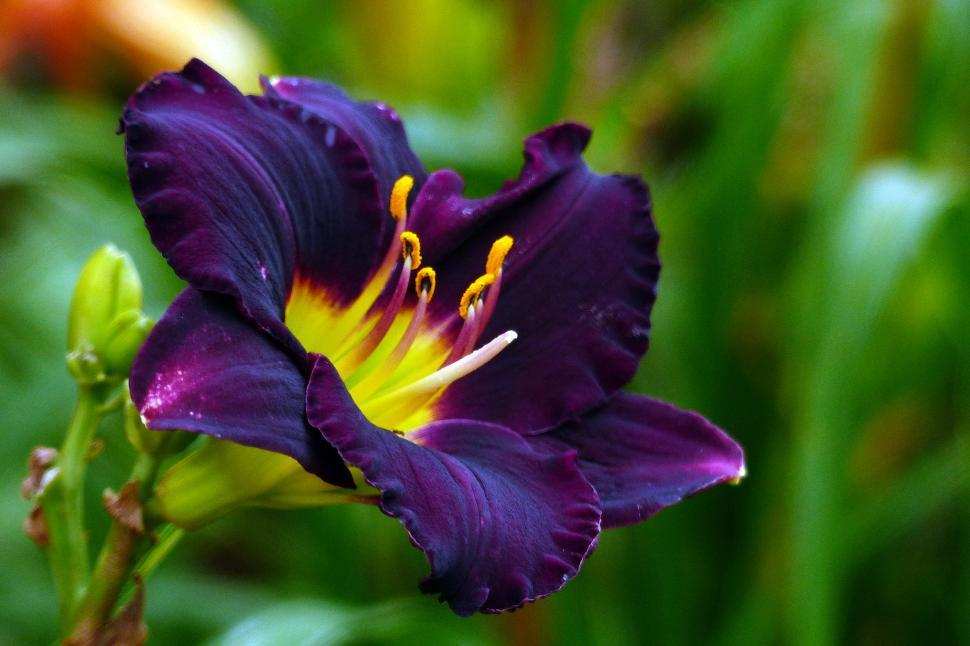 Download Free Stock Photo of Day Lily  H. Cinderella  Flower
