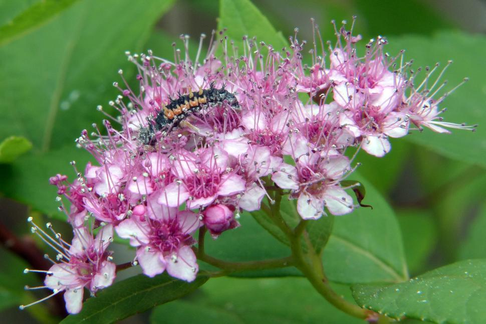 Download Free Stock HD Photo of Spirea Flower and Bug Online