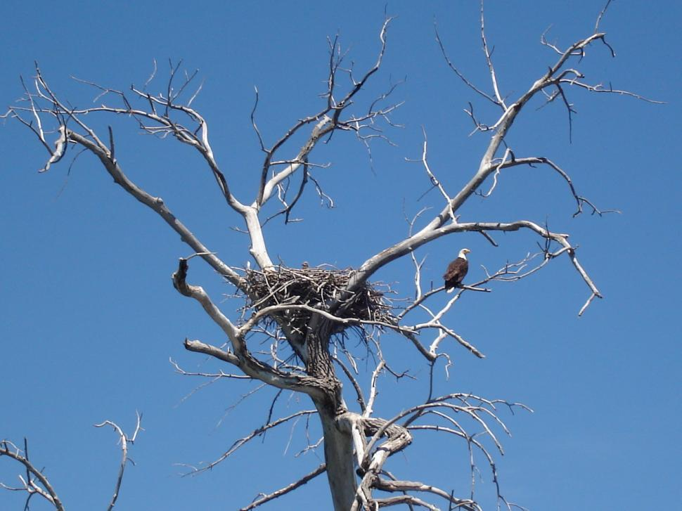 Download Free Stock HD Photo of Eagles nesting Online