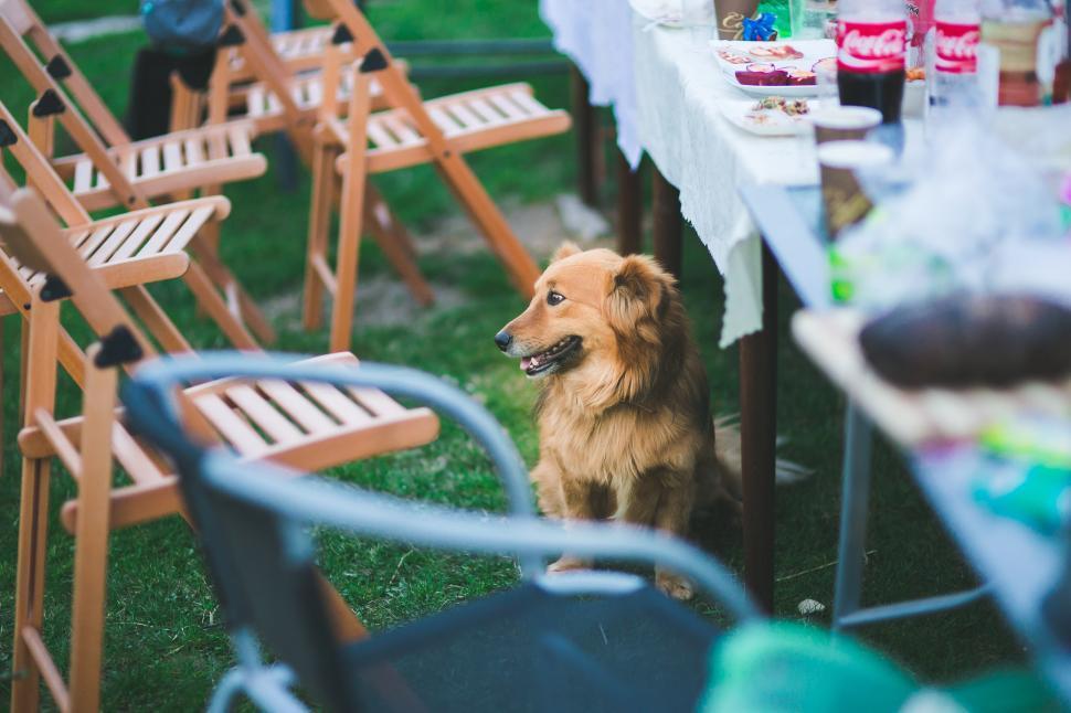 Download Free Stock Photo of Animal Dog Sitting animals pet pets sittingdog table undertable dog spitz pomeranian canine chow domestic animal animal terrier hunting dog norwich terrier