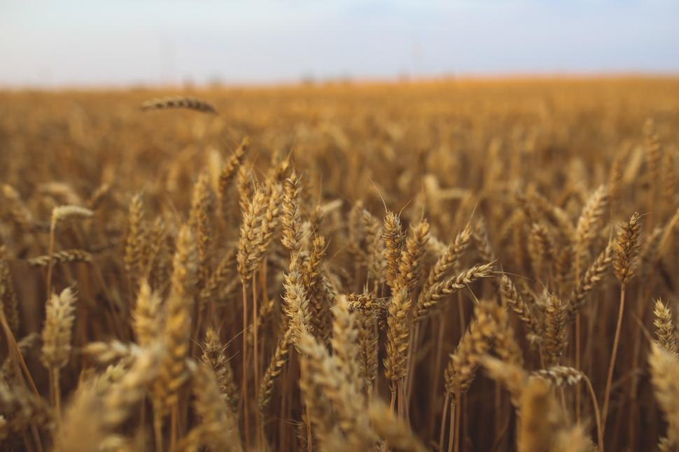 Download Free Stock Photo of autumn breakfast country countryside fibre field golden grain hervest summer wheat wheat field cereal grain rural agriculture farm plant summer harvest corn crop seed straw farming landscape bread country sky grass rye growth countryside grow natural ripe gold yellow golden barley meadow sun season land stem food cloud agricultural dry scene ear