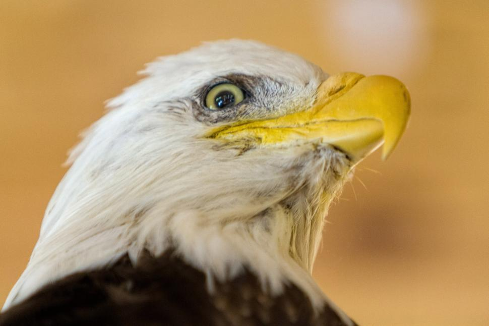 Download Free Stock Photo of Bald eagle