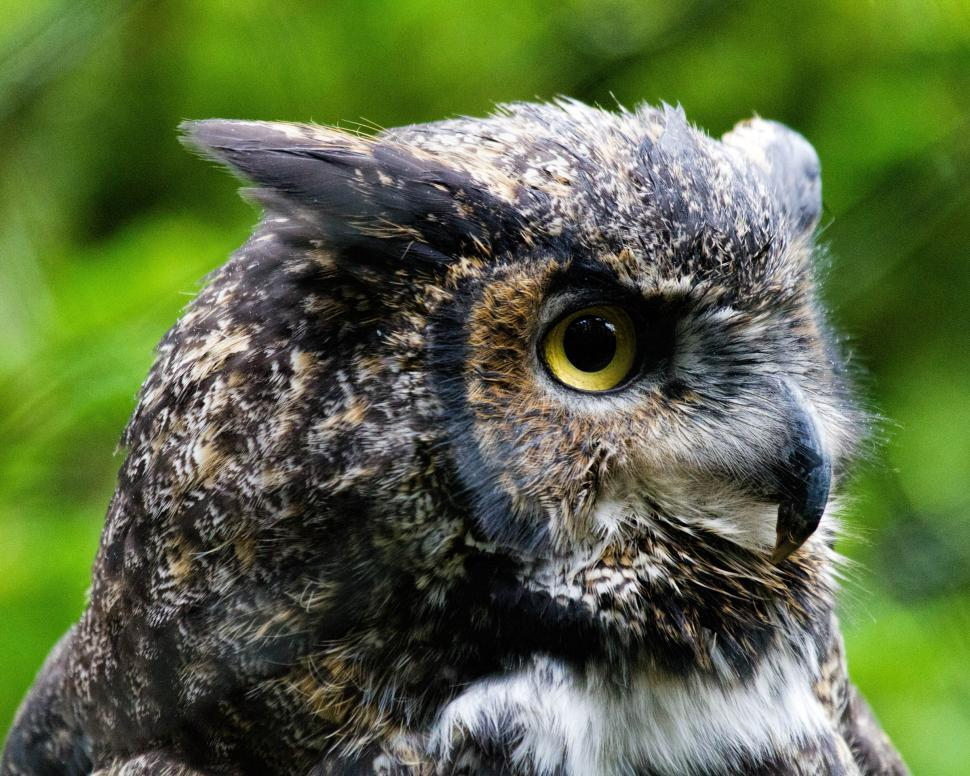Download Free Stock Photo of Great Horned Owl
