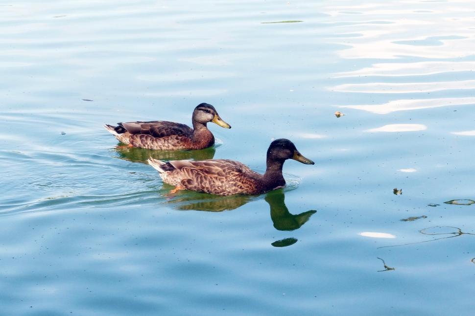 Download Free Stock Photo of Ducks on Pond