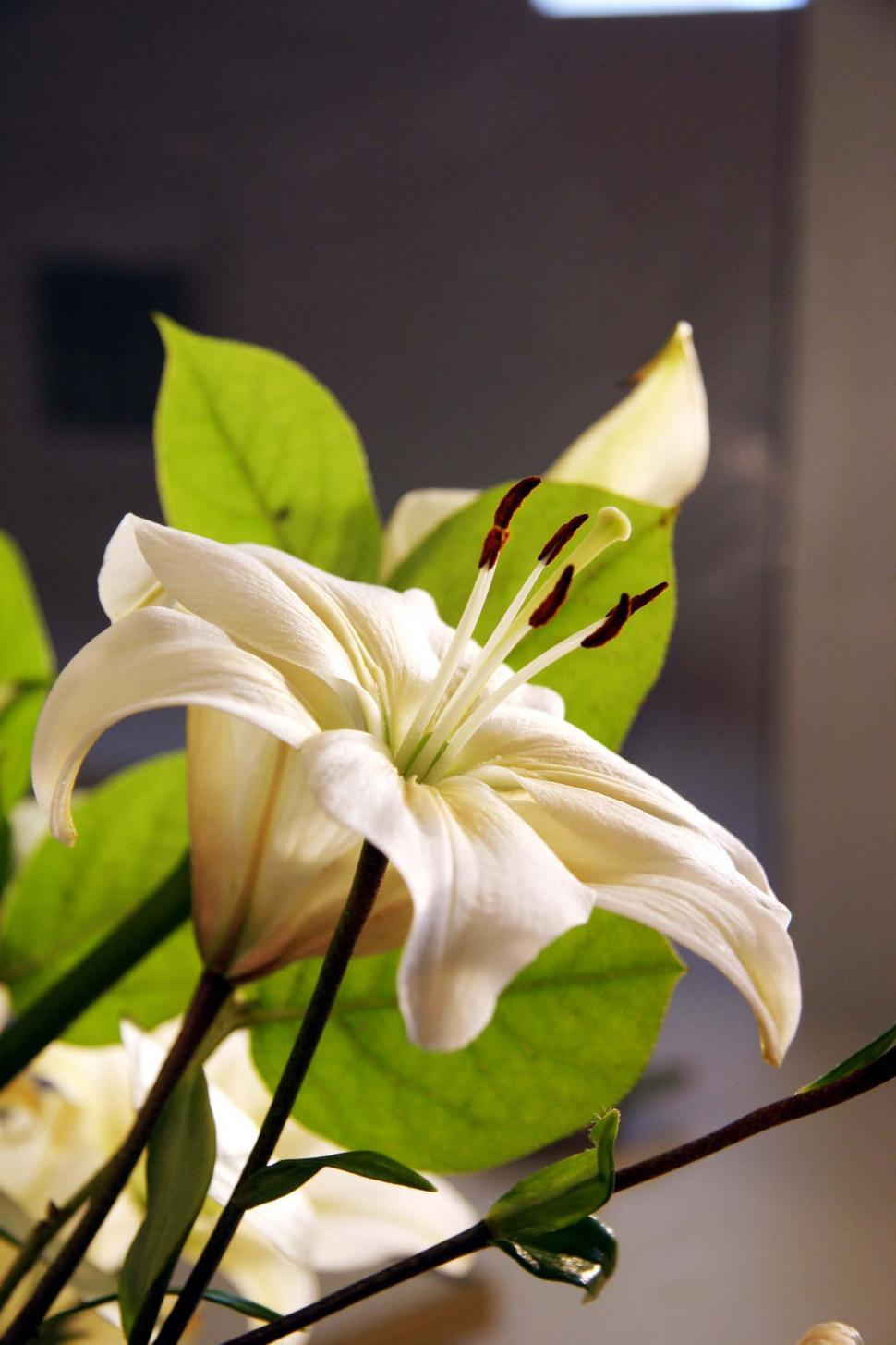 Download Free Stock HD Photo of Stargazer Lily Bloom Online