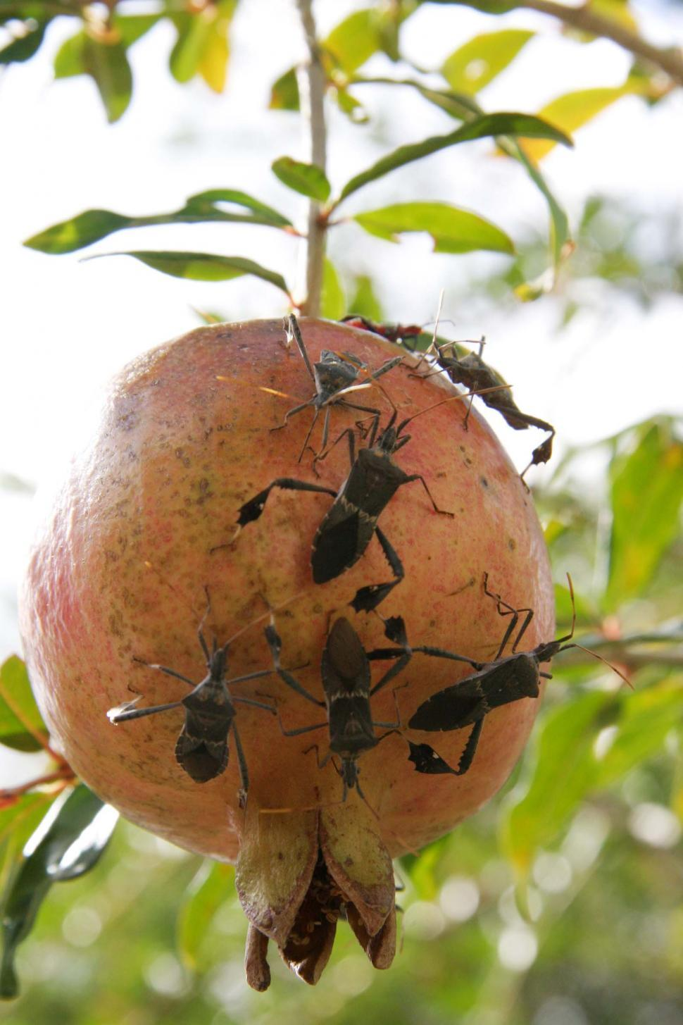 Download Free Stock Photo of Many bugs on a pomegranate