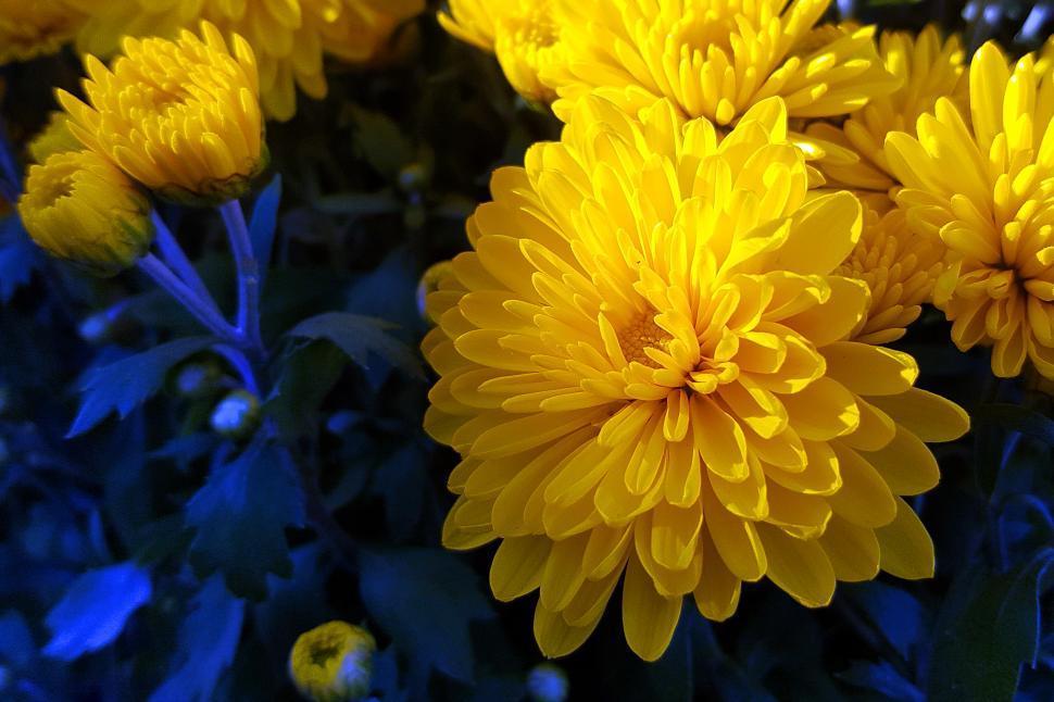 Download Free Stock Photo of Yellow Chrysanthemum Flower
