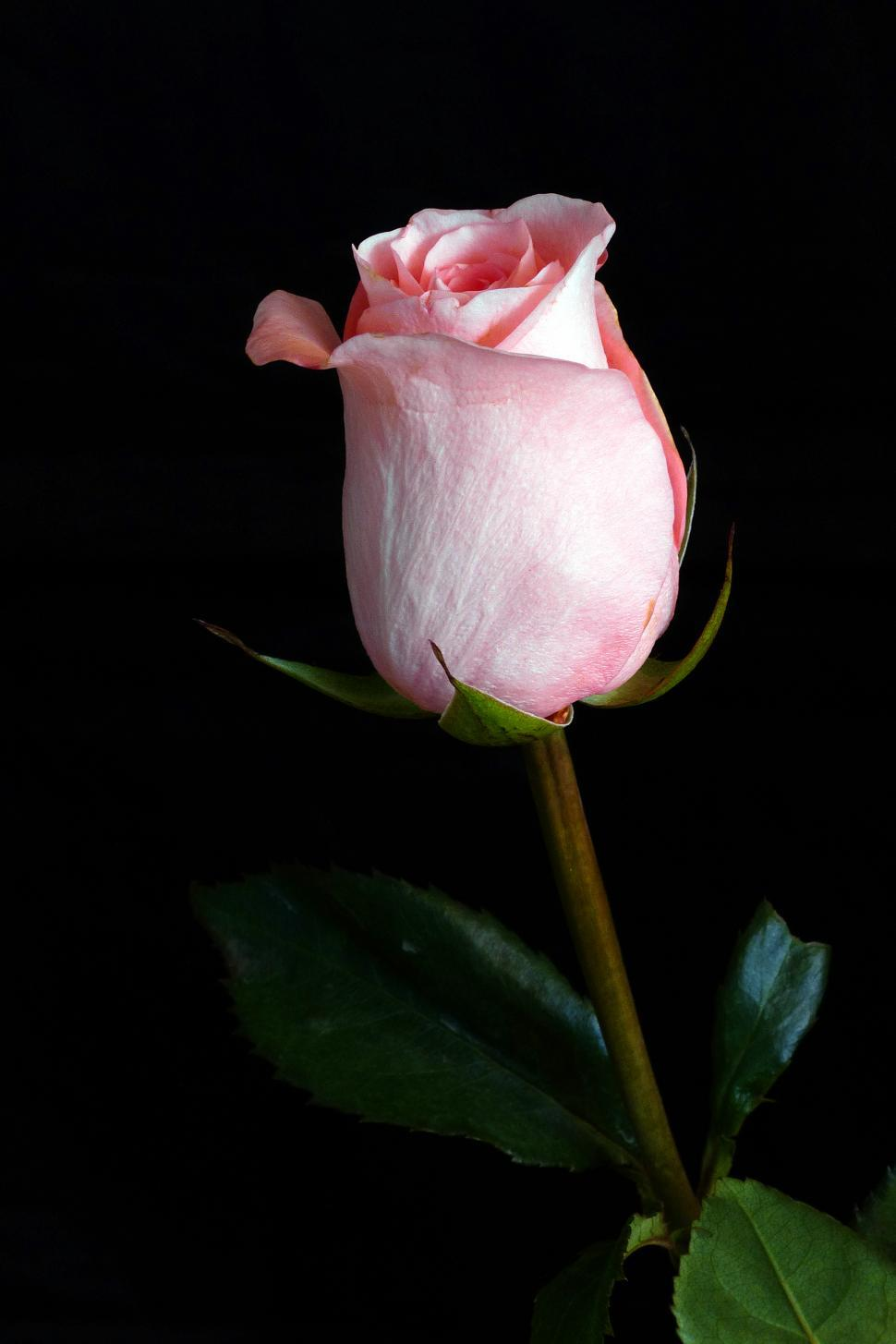 Download Free Stock HD Photo of Single Pink Rose Online