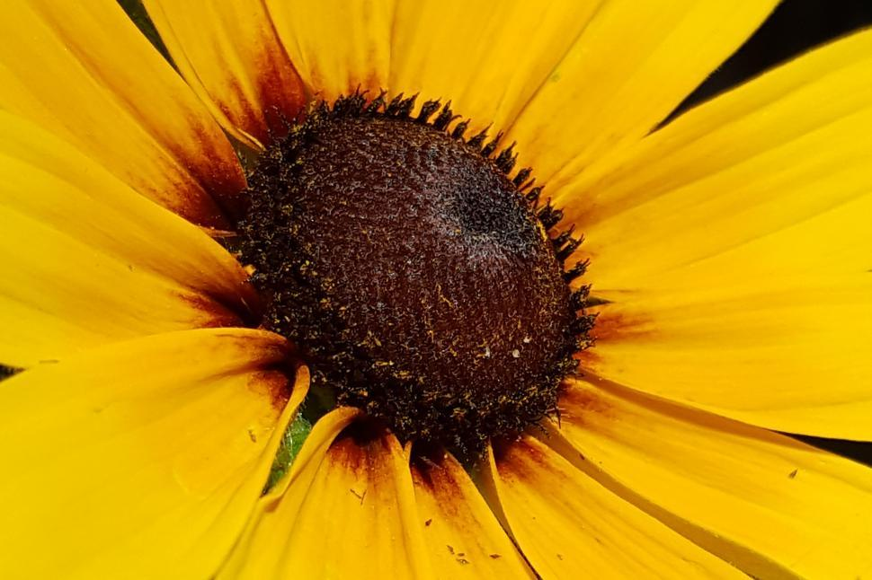 Download Free Stock HD Photo of Black-Eyed Susan Flower Closeup Online